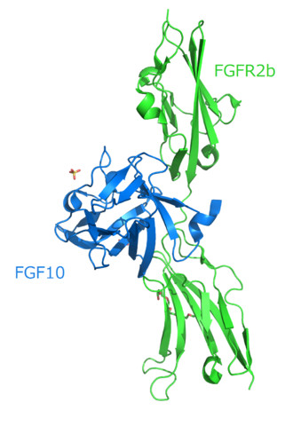 Structure of the FGF10-FGFR2b complex