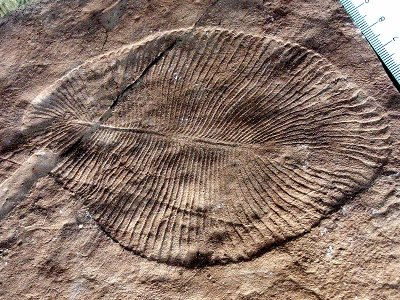 Dickinsonia costata, a typical fossil of the Ediacara biota