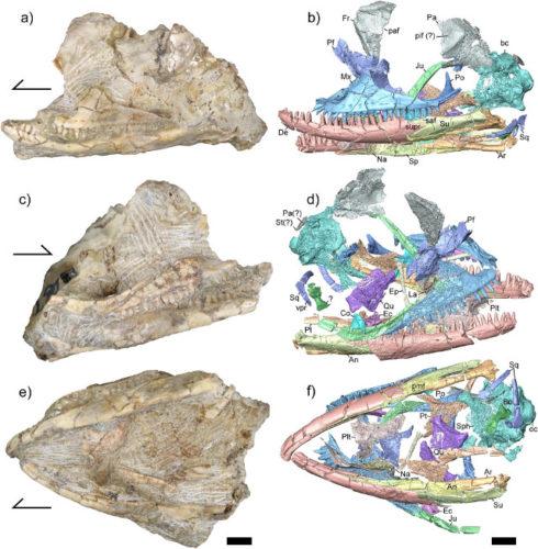 Kopidosaurus perplexus fossil with its 3D reconstructions
