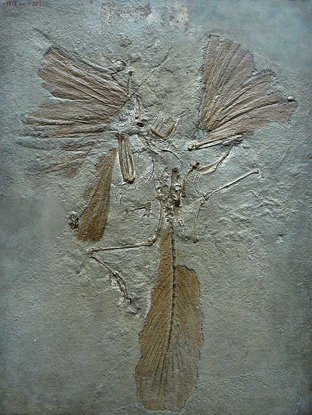 Fossil of Archaeopteryx lithographica at the Muséum national d'Histoire naturelle in Paris