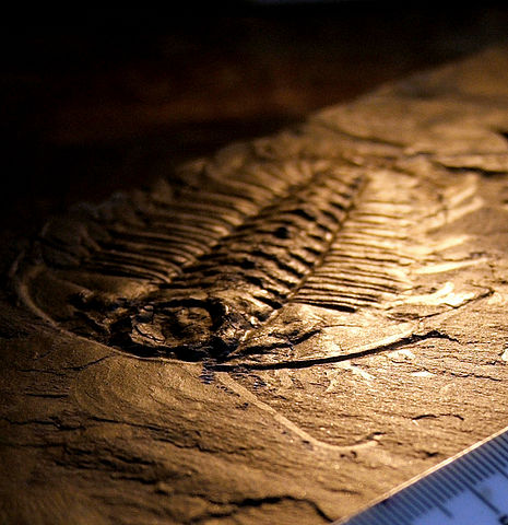 Trilobite fossile from the Burgess Shale