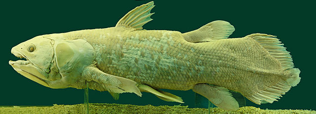 A speciman of Latimeria Chalumnae, a modern Coelacanth