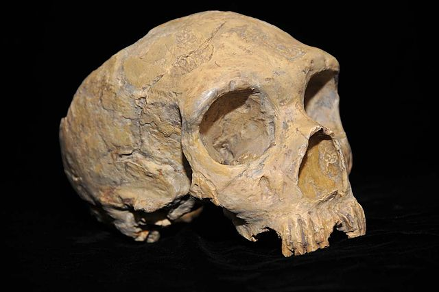 Neanderthal skull from Forbes' Quarry