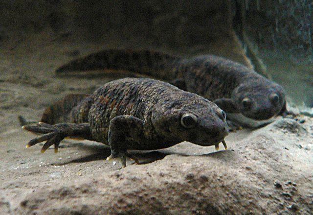 Iberian ribbed newt (Pleurodeles waltl)