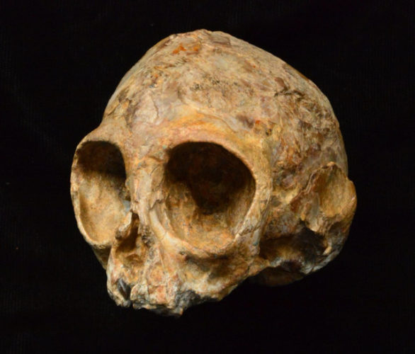 Nyanzapithecus Alesi's skull (Photo courtesy Fred Spoor)
