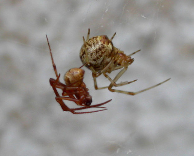 Male and female of common house spider
