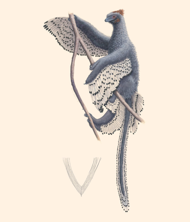 Anchiornis huxleyi reconstruction (Image courtesy Rebecca Gelernter)
