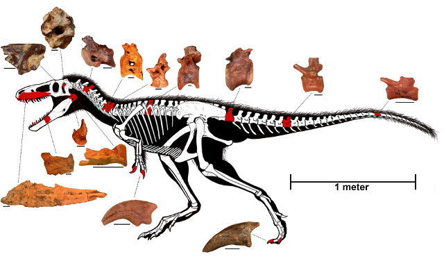 Reconstruction of Timurlengia euotica skeleton (Image courtesy Proceedings of the National Academy of Sciences. All rights reserved)