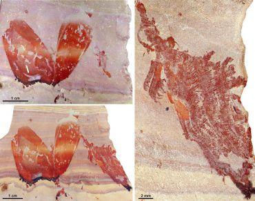Pahvantia hastasta fossils (Image courtesy Stephen Pates / Rudy Lerosey-Aubril)
