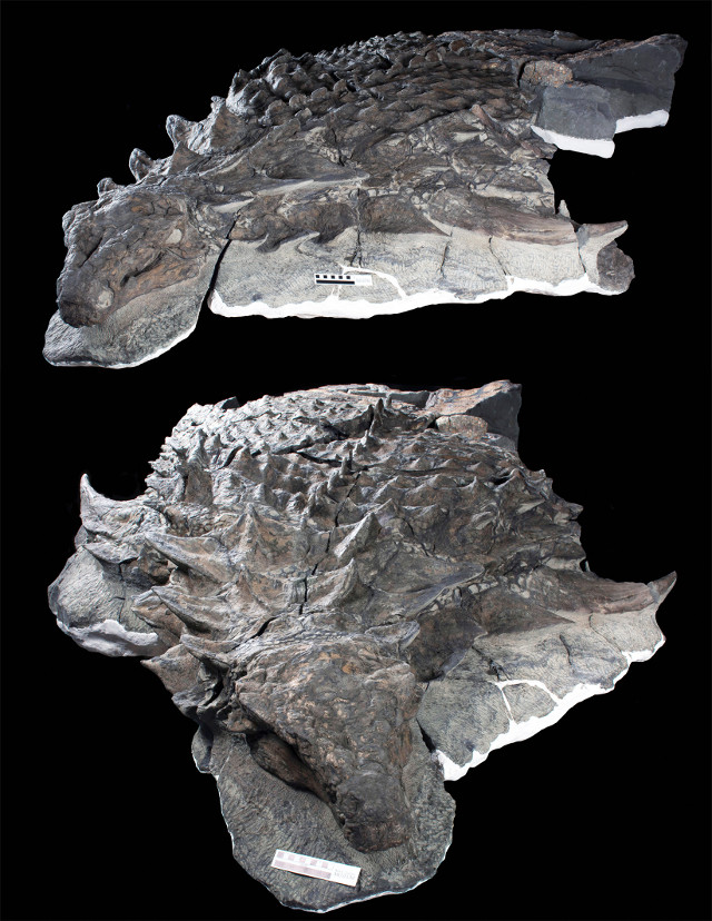 Part of Borealopelta markmitchelli fossils (Image courtesy Royal Tyrrell Museum)