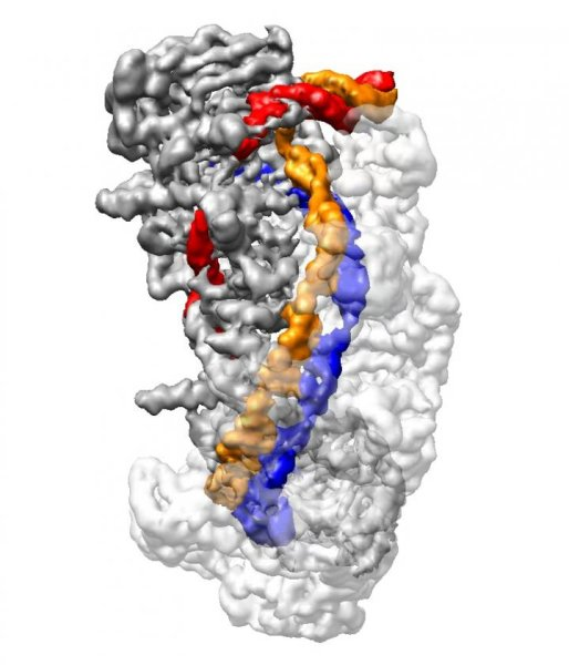 A cryo-electron microscope image of a CRISPR molecule (Image courtesy Liao lab/Harvard Medical School)