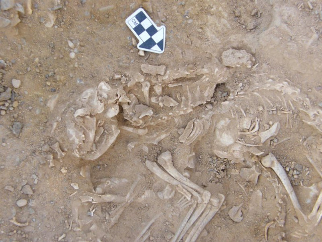 Cats buried in a 6000 year old pit in Hierakonpolis, Egypt (Photo courtesy Hierakonpolis Expedition. All rights reserved)