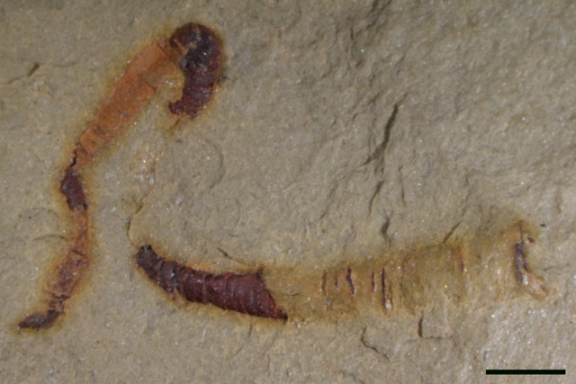 Cloudinid fossils