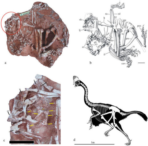 Corythoraptor jacobsi's fossils and drawings (Image courtesy Lü Junchang et al.)