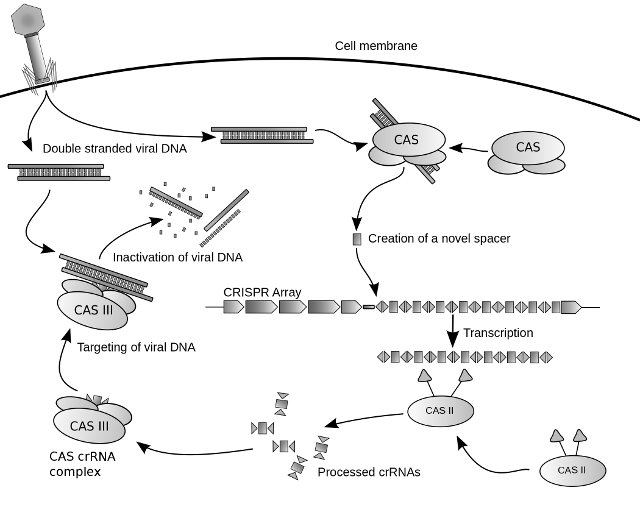 Diagram of the possible mechanism for CRISPR (Image courtesy James Atmos)
