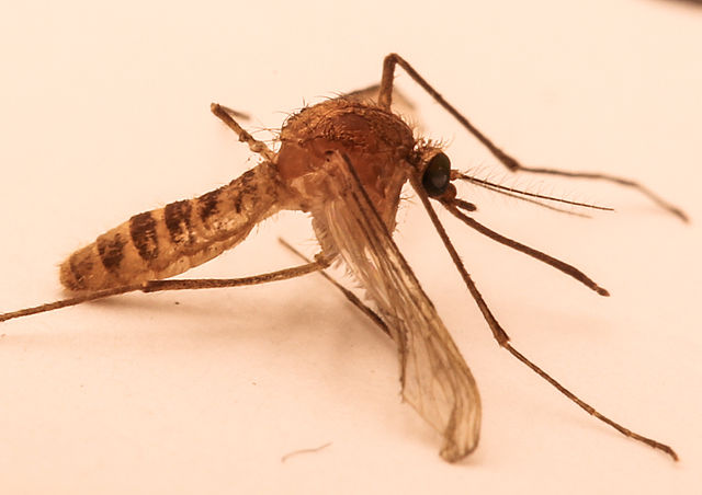 Culex Molestus, the London Underground mosquito