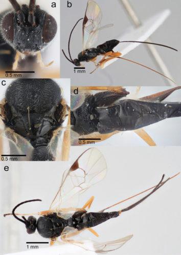 Views of a Dolichogenidea xenomorph specimen (Image courtesy Erinn Fagan-Jeffries. All rights reserved)
