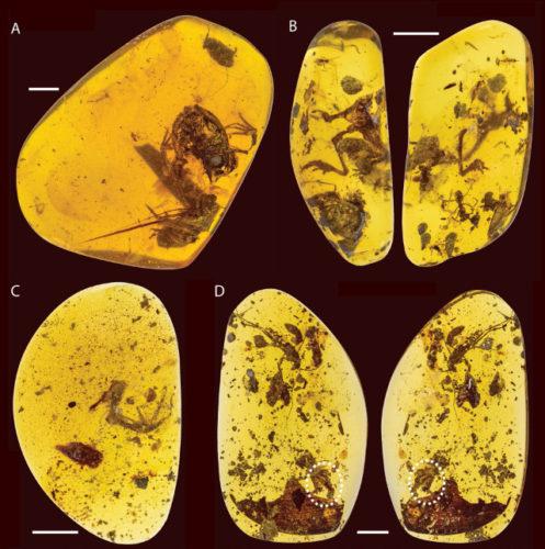 Electrorana limoae
