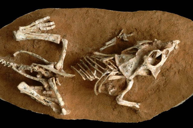 Fossil of newborn Protoceratops andrewsi (Photo courtesy Gregory Erickson, FSU)
