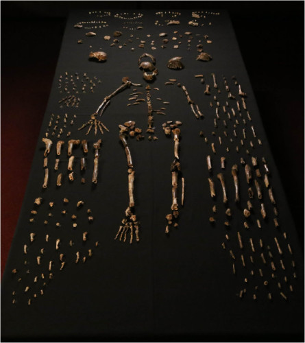 Part of the bones of the hominids called Homo naledi discovered in South Africa (Photo Lee Berger and colleagues)