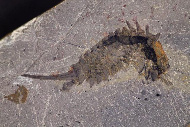 Habelia optata fossil (Image courtesy Jean-Bernard Caron. Copyright: Royal Ontario Museum)