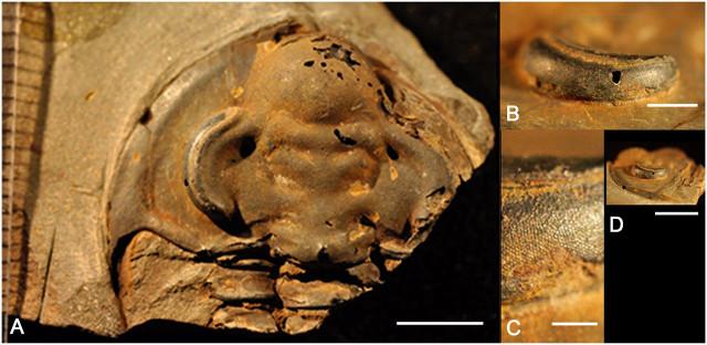 Holmia kjerulfi details (Image courtesy Brigitte Schoenemann et al.)