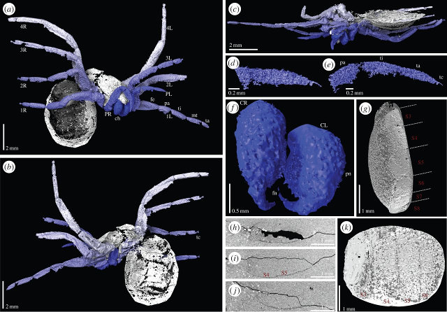 Different views of Idmonarachne Brasieri scans (Image Russell J. Garwood et al.)