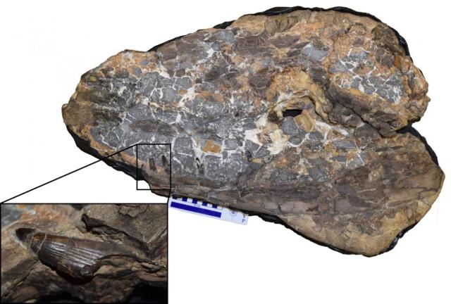 Ieldraan melkshamensis fossil (Image courtesy Davide Foffa)