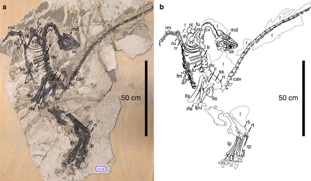 Fossil and drawing of Jianianhualong Tengi (Image courtesy Xu, Currie, Pittman et al.)