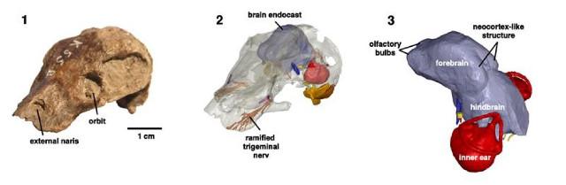 Kawingasaurus Skull (Image courtesy Michael Laaß / Verlag Wiley-VCH)