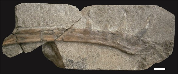Klobiodon rochei fossil (Photo MOS1985)