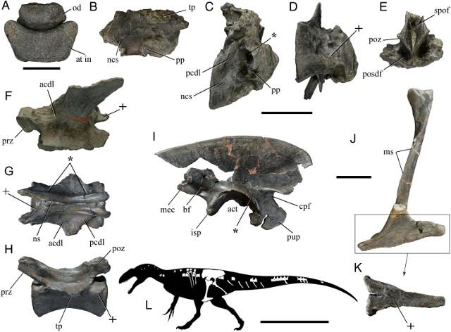 Sinlhouette of Lusovenator santosi with the available bones