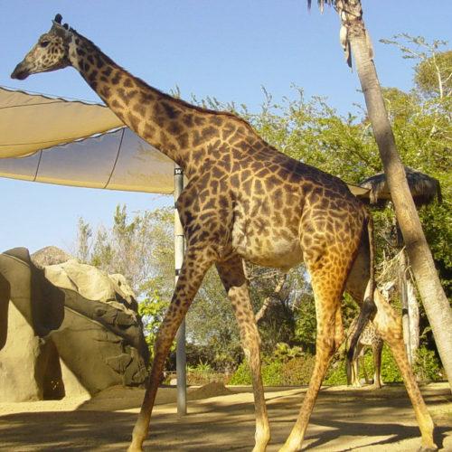 Masai Giraffe, also known as the Kilimanjaro Giraffe, (Giraffa camelopardalis tippelskirchi)