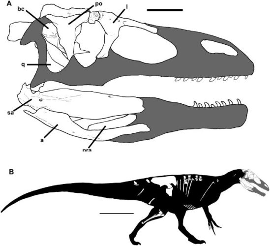 Reconstruction of Murusraptor barrosaensis. In white the bones found (Image Rodolfo A. Coria, Philip J. Currie)