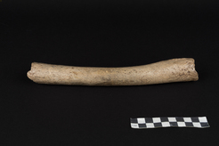 Neanderthal Femur (Photo courtesy Oleg Kuchar © Museum Ulm)