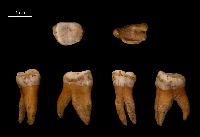 Neanderthal Molar from Belgium (Image courtesy I. Crevecoeur. All rights reserved)