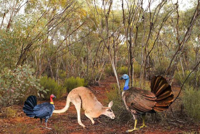 A bush turkey, a kangaroo and a reconstruction of a Progura gallinacea (Image courtesy Elen Shute / Kim Benson / Tony Rodd / Aaron Camens)
