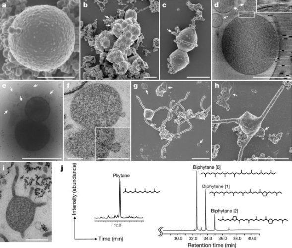 An Asgard archaeon could provide the key to understanding the birth of the eukaryotic cell