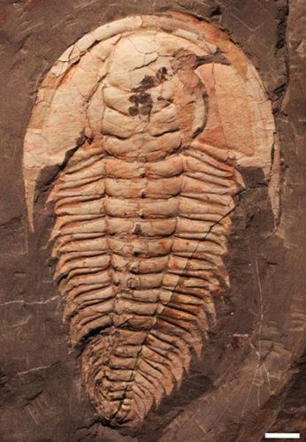 Redlichia rex, the T.rex of trilobites, has been identified