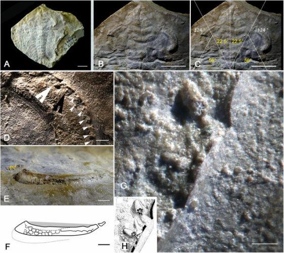 Schmidtiellus reetae (Image courtesy Brigitte Schoenemann et al.)