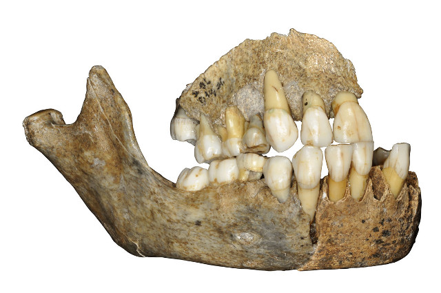 Maxillary bone from Scladina Cave (Image courtesy J. Eloy, AWEM, Archéologie andennaise. All rights reserved)