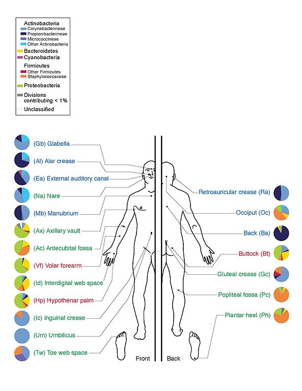 The bacteria present on the various areas of human skin, a little example of interaction between the microbiome and human beings (Image Darryl Leja, NHGRI)