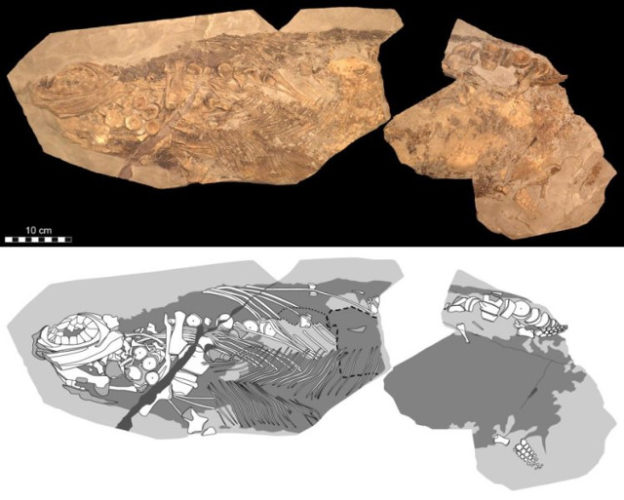 Stenopterygius was a Jurassic marine reptile that according to a research was warm-blooded