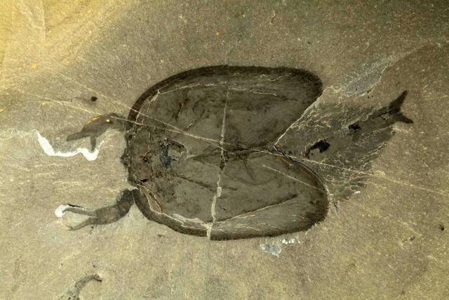 Tokummia katalepsis fossil (Photo courtesy Aria / Jean-Bernard Caron)