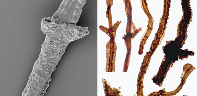 Filaments of Tortotubus protuberans (Image courtesy Martin R. Smith)