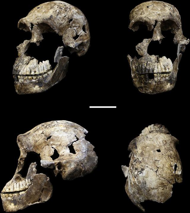 Skull of the Homo naledi nicknamed Neo (Image courtesy John Hawks/University of Wisconsin-Madison/Wits University)