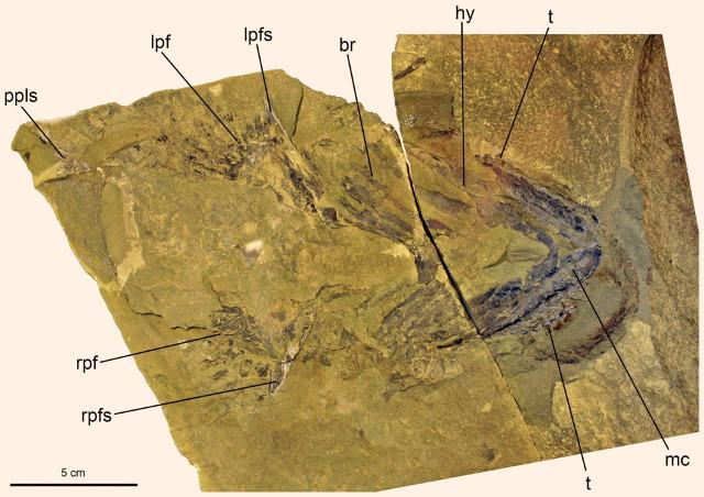 Doliodus problematicus specimen (Photo courtesy John G. Maisey et al)