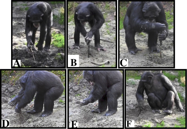A spontaneous use of excavating tools observed in a group of chimpanzees