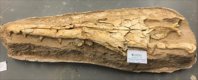 Gavialimimus almaghribensis fossil