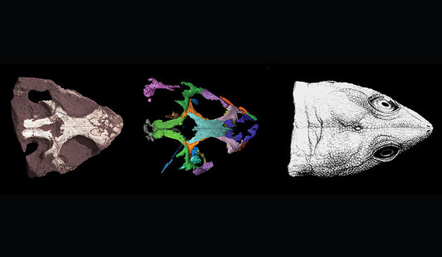 Colobops noviportensis' skull reconstruction phases (Image courtesy Yale University)